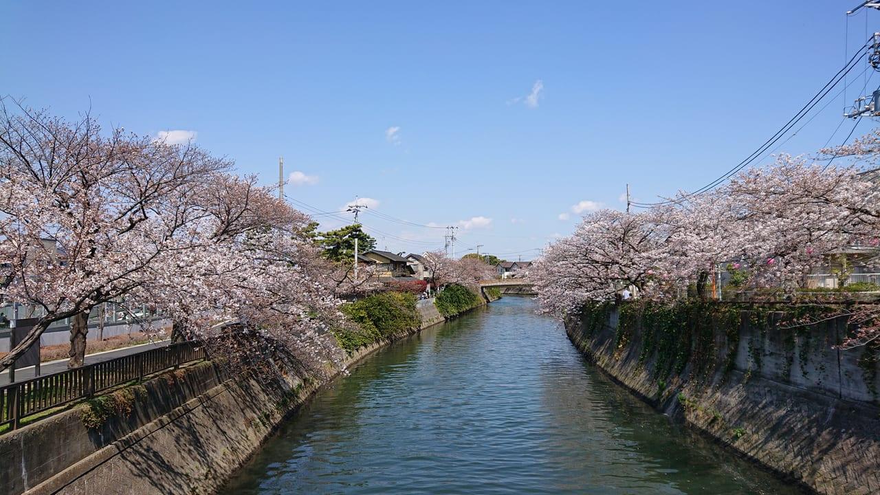 桜が見頃を迎えた真間川